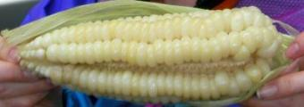 giantcorn 3.jpg